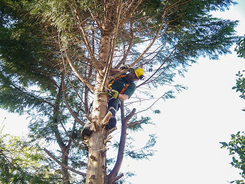 going up the conifer cutting branches