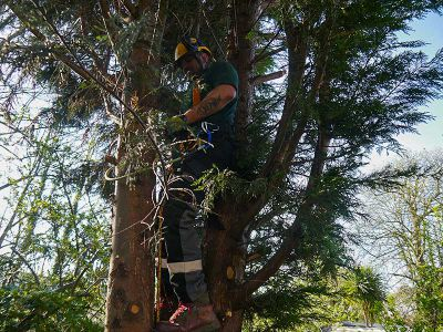 tree surgeon removing lower branches
