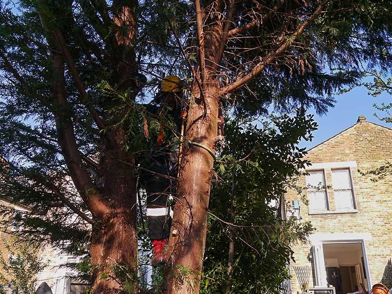 tree surgeon climbing