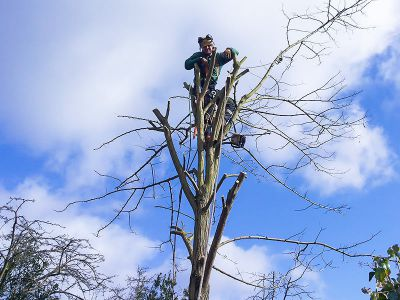 tree surgeon on the top of the tree