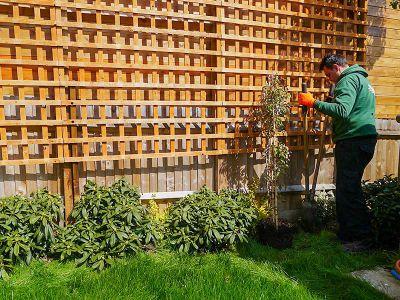 landscaper planting Clematis