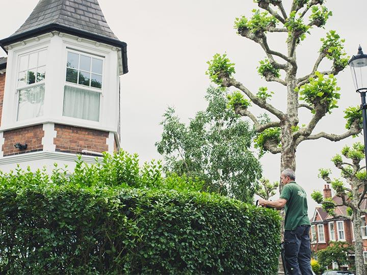 gardener trimming the top of a hedge