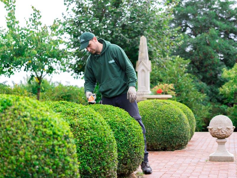 Gardener Trimming Some Hedges