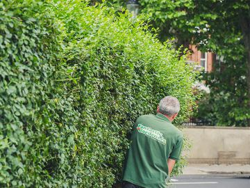gardener trimming a hedge