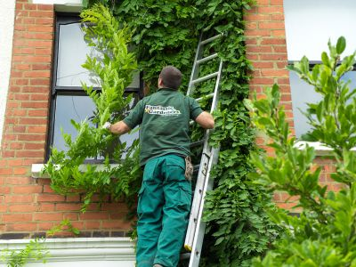 Gardener Removing Part of Ivy