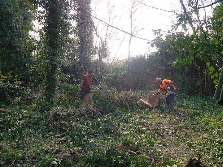 tree surgeons cutting a tree