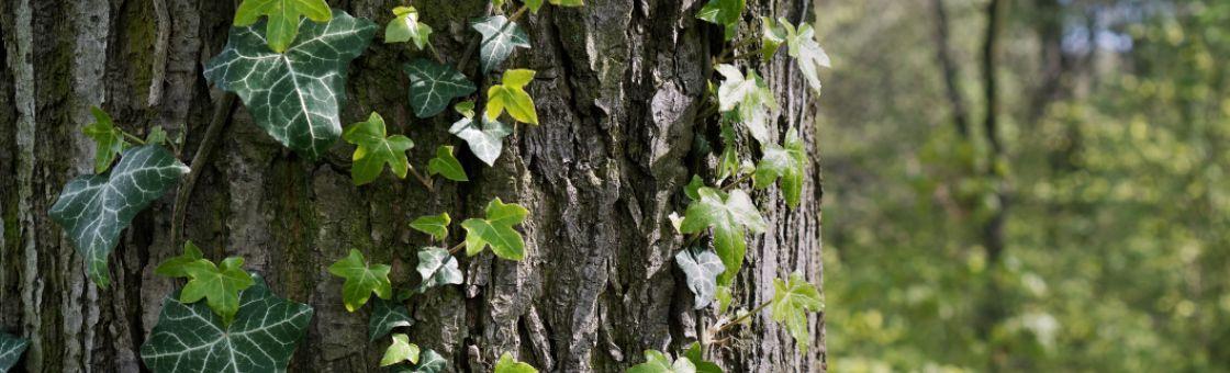 ivy growing on tree